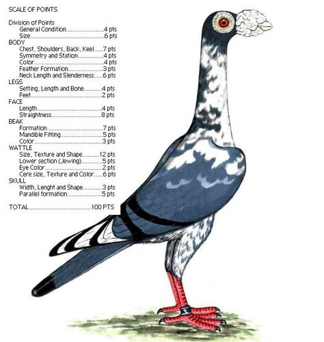 burung merpati jenis jenis burung merpati hias